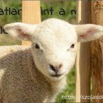 Ártatlan, mint a ma született bárány