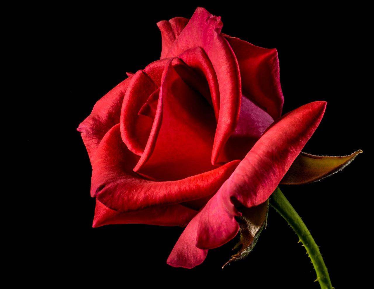 Rózsa, rózsával kapcsolatos szólások, közmondások és idézetek.